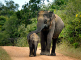 APTOPIX Sri Lanka Elephants Photographic Print by Eranga Jayawardena