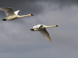 Travel Trip Swan Migration Photographic Print by Dan Joling