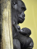 APTOPIX Hungary Newborn Gorilla Photographic Print by Bela Szandelszky
