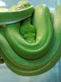 Pets Special Snakes Lmina fotogrfica por Mark Gilliland