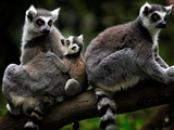 Japan Animal Lemur Photographic Print by Itsuo Inouye