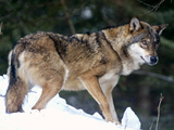 France Wolf Park Photographic Print by Lionel Cironneau