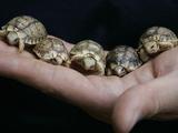 APTOPIX Italy Libya Baby Tortoises Photographic Print by Pier Paolo Cito