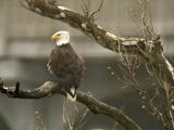 Bald Eagle Photographic Print by Amy Sancetta