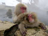 Japanese Macaque Monkeys Groom Each Other Photographic Print by Shuji Kajiyama