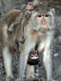 APTOPIX Thailand Monkey Festival Photographic Print by David Longstreath
