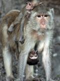 APTOPIX Thailand Monkey Festival Photographic Print by David Longstreath