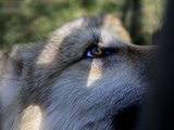 Wolves in Westchester Photographic Print by Seth Wenig