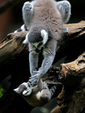 APTOPIX Japan Animal Lemur Photographic Print by Itsuo Inouye