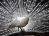 APTOPIX India White Peacock Photographic Print by Mahesh Kumar A