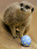Britain Easter Meerkats Photographic Print by Matt Dunham