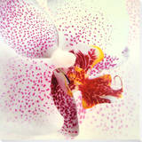 Orchid II Mounted Print