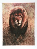 Stalking Lion Collectable Print by Nancy Glazier