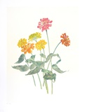 Zinnias Collectable Print by Carol Ann Bolt