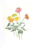 Zinnias Collectable Print by Carol Ann Bolt
