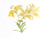 Tiger Lily Collectable Print by Carol Ann Bolt
