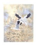 Snow Geese Landing Limited Edition by Chris Forrest