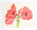 Amaryllis Limited Edition by Carol Ann Bolt