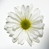 Margarita blanca Póster por Gail Peck