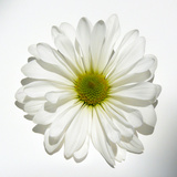White Daisy Poster by Gail Peck