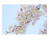 Blossom 7 Premium Giclee Print by Ella Lancaster