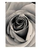 Rose Premium Giclee Print by Ella Lancaster