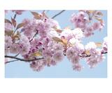 Blossom 2 Premium Giclee Print by Ella Lancaster