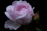 Rose pink with water droplets Photographic Print by Charles Bowman