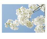 Blossom 11 Premium Giclee Print by Ella Lancaster