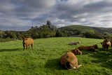 Corfe cows Photographic Print by Charles Bowman