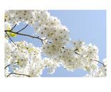 Blossom 8 Premium Giclee Print by Ella Lancaster