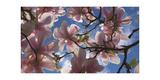 Magnolia flowers Impressão fotográfica por Charles Bowman