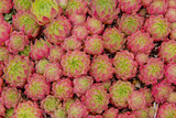 Sempervivum Cantabricum Gicl&#233;e-Premiumdruck von Charles Bowman