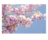 Blossom 1 Premium Giclee Print by Ella Lancaster