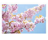 Blossom 3 Premium Giclee Print by Ella Lancaster