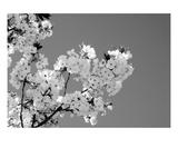 Blossom Premium Giclee Print by Ella Lancaster