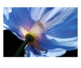 Poppy 5 Premium Giclee Print by Ella Lancaster
