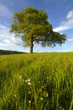 Solitary oak tree stands in field in Surrey Premium Giclee Print by Charles Bowman