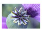 Poppy 4 Premium Giclee Print by Ella Lancaster