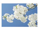 Blossom 10 Premium Giclee Print by Ella Lancaster