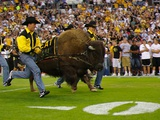 University of Colorado - Ralphie Charges the Field Photographic Print by Alex Benison
