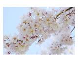 Blossom 6 Premium Giclee Print by Ella Lancaster