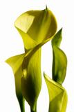 Cala lilies Premium Giclee Print by Charles Bowman