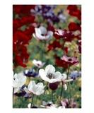 Anemone Field 3 Premium Giclee Print by Ella Lancaster
