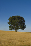 Solitary oak tree stands in a cropped field Premium Giclee Print by Charles Bowman