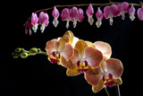Flower mix bleeding heart and orchid hang together Photographic Print by Charles Bowman