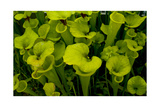 Pitcher plant green carnivorous Photographic Print by Charles Bowman