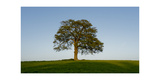 Oak tree Premium Giclee Print by Charles Bowman