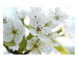 Blossom 14 Premium Giclee Print by Ella Lancaster