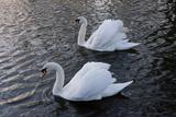 Swan pair Premium Giclee Print by Charles Bowman